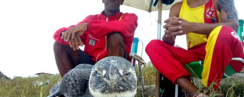 Seis pinguins são resgatados com vida na praia da Massambaba em apenas um dia